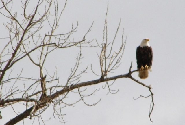 bald eagle on tree branch