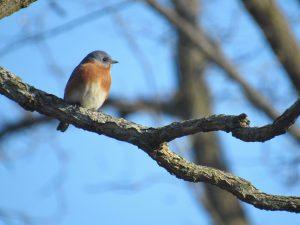 Eastern Bluebird in a tree branch