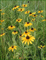 FD-Black-eyed-susan