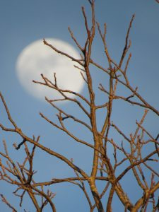 View of the moon behind tree branches