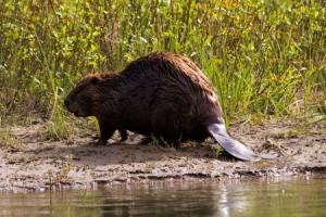 beaver-mini-camp2
