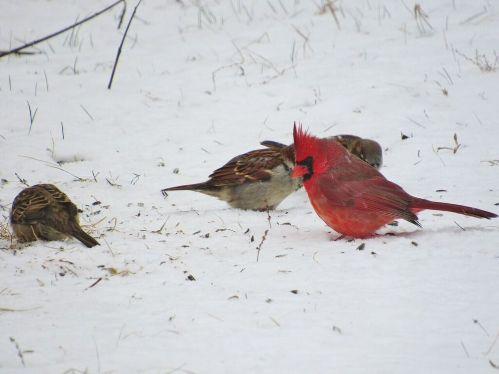 three birds looking for food in the snowy ground