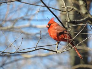 red cardinal sitting on a tree branch