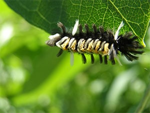 yellow caterpillar upside down on a green leaf