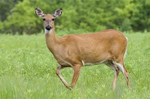 dapple deer