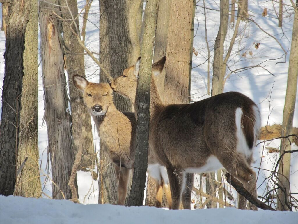 two deer in the winter forest with snow