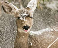 deer_winter