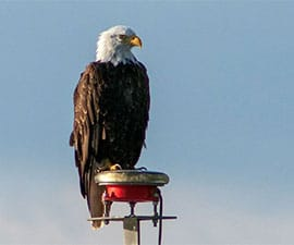 bald eagle sitting on post against blue sky