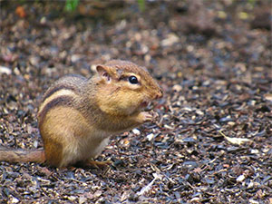 chipmunk on the forest floor