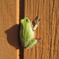 bright green frog on a red-brown wooden wall