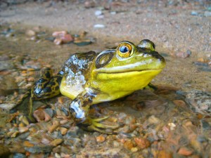 frog toad