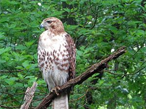 hawk sitting on a tree branch
