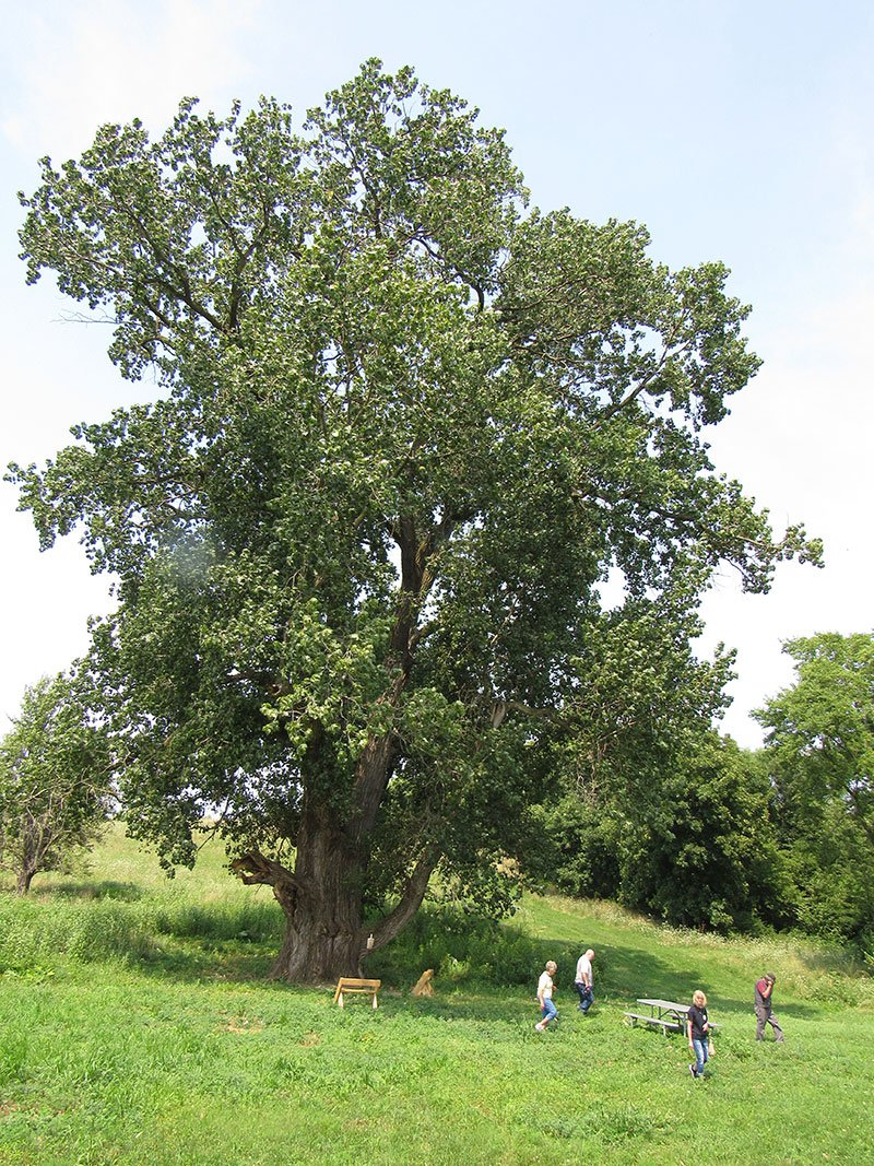Trip to Illinois' Largest Tree