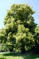 linden_tree