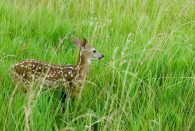 young deer in tall green grass