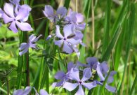 small purple flowers within grasses