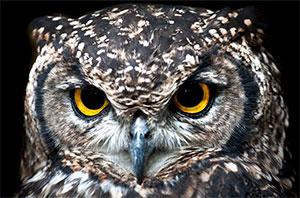 Nighttime Owls
