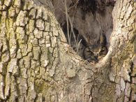 owl sleeping in the nook of a tree
