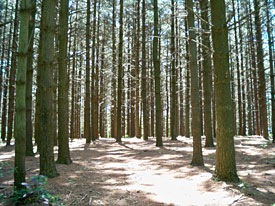 pine-tree-forest