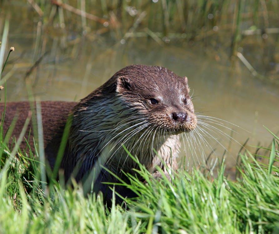 Preschool Peepers: River Otters