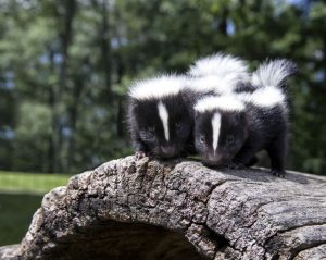 two skunks on a log