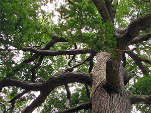 view from underneath a tall tree, looking up
