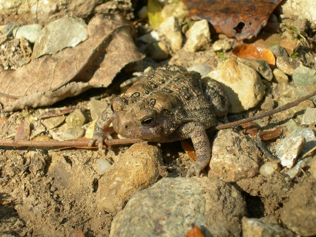 toad sitting on rocks and leaves