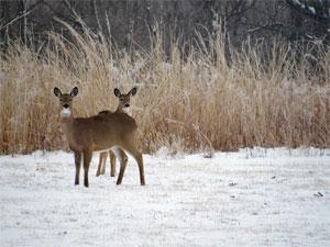 two-deer-snow