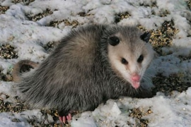 Virginia Opossum in Winter