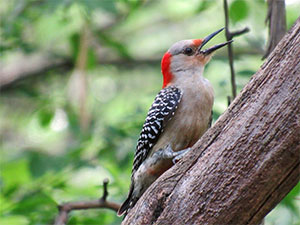woodpecker sitting on a tree branch with mouth open